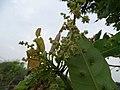 Buchanania axillaris (Cuddapah Almond) 01.jpg