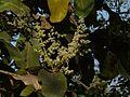 Buchanania lanzan (3244082759).jpg