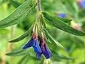 Buglossoides purpurocaerulea (14231750533).jpg