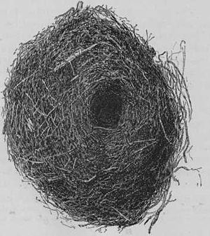 New Zealand rock wren - Rock wren nest