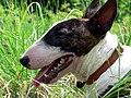 Bull Terrier Chico 04.jpg