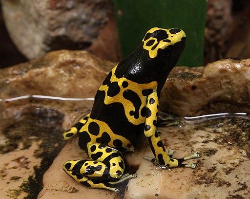 Bumblebee Poison Frog Dendrobates leucomelas