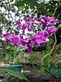 Bunga Anggrek pink.jpg