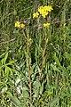 Bunias.orientalis.8296.jpg