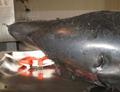 Burrunan Dolphin (Tursiops australis)-rostrum.png