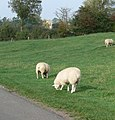 Burton Overy sheep - geograph.org.uk - 586228.jpg