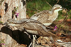 Pair of bush stone-curlews