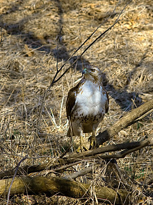 Chain O'Lakes State Park (Illinois) - Juvenile Red-tailed Hawk at Chain O'Lakes State Park (Illinois)