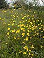 Buttercups (wild)-KayEss-1.jpeg