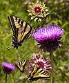 Butterflymashup (3682133218).jpg