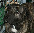 Cão Fila de São Miguel (Azores Cattle Dog).JPG