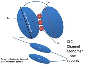 Chloride channel - A cartoon representation of a CLC channel monomer. Two of these subunits come together to form the CLC channel. Each monomer has three binding sites for anions, Sext, Scen, and Sint. The two CBS domains bind adenosine nucleotides to alter channel function