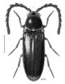 COLE Eucnemidae Neocharis simplex.png