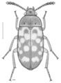 COLE Mycetophagidae Neotriphyllus confusus 1.png
