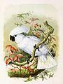 Cacatua alba 1869.jpg