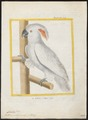 Cacatua molluccensis - 1700-1880 - Print - Iconographia Zoologica - Special Collections University of Amsterdam - UBA01 IZ18600005.tif