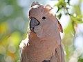 Cacatua moluccensis -Gatorland, Orlando, Florida, USA-8a.jpg