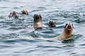 California Sea Lions (Zalophus californianus).jpg