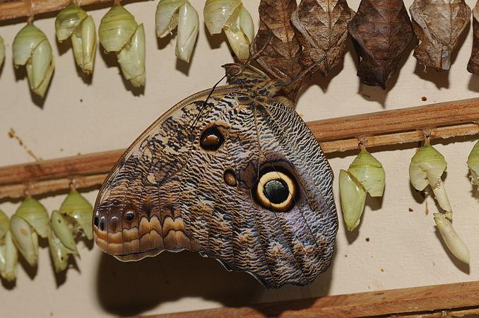 Caligo eurilochus 1.jpg