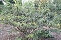 Calliandra haematocephala 19zz.jpg