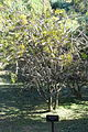 Callistemon linearis - Jardín Botánico de Barcelona - Barcelona, Spain - DSC09032.JPG