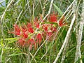 Callistemon sp Coonoor ph 01.jpg