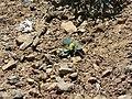 Callophrys dumetorum 15748.JPG