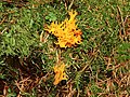 Calocera viscosa, Tardree forest (9) - geograph.org.uk - 982405.jpg