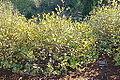 Calycanthus occidentalis - Humboldt Botanical Garden - Eureka, California - DSC02526.JPG