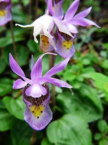 Calypso bulbosa var. occidentalis (1).jpg