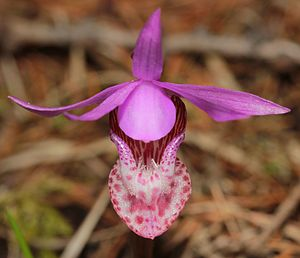 Rattlesnake National Recreation Area - A Calypso orchid