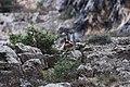 Camoscio tra le rocce.jpg