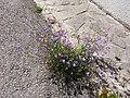 Campanula rotundifolia sl20.jpg