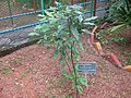 Camphor Tree - കർപ്പൂര മരം.jpg