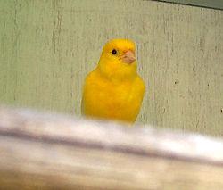 Serin des Canaries (Serinus canaria),variété domestique