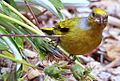 Cape Canary, Serinus canicollis, male at Kirstenbosch (8236009770).jpg
