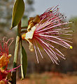 Capparis horrida is it in Hyderabad W IMG 7540.jpg