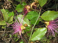Capparis zeylanica L..jpg