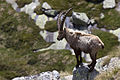 Capra ibex -Ceresole Reale, Turin Province, Italy-8 (1).jpg
