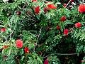 Carbonero rojo (Calliandra hematocephala) (14516068937).jpg