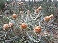 Cardo Gigante Flores Secas.jpg