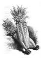 Cardon de Tours Vilmorin-Andrieux 1883.png