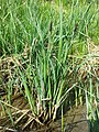 Carex acutiformis sl5.jpg