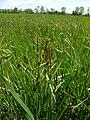 Carex lasiocarpa plant (1).jpg