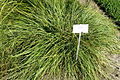 Carex spicata - Bergianska trädgården - Stockholm, Sweden - DSC00543.JPG