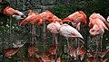 Caribbean Flamingo1 (Phoenicopterus ruber) (0421) - Relic38.jpg