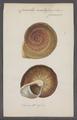 Carocolla acutissima - - Print - Iconographia Zoologica - Special Collections University of Amsterdam - UBAINV0274 089 02 0008.tif