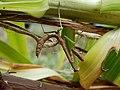 Carolina Mantis mimicry of Lilium lancifolium 01.jpg