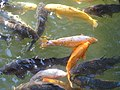 Carp in Canal - Sapporo - Hokkaido - Japan (47977605927).jpg