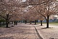 Carpet of cherry blossoms - panoramio.jpg